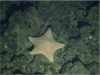 Unidentified cushion star