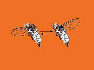 How a fly flies