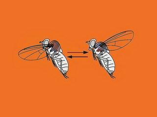 مگسها چگونه پرواز میکنند؟