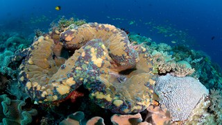 The fascinating secret lives of giant clams
