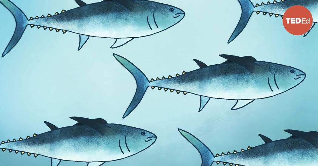 Meet the bluefin tuna, the toughest fish in the sea